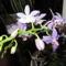 kék orchida 2