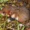 Kishörcsög - Cricetus cricetus