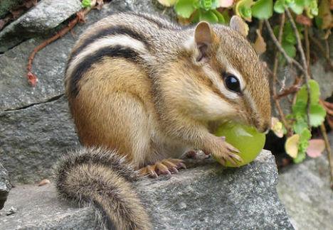csíkos mókus 1