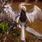 Drying Anhinga