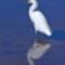 Snowy Egret (Nemes Kócsag)
