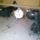 Somogyvári József galambjai