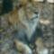 Hím oroszlán