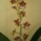 2.cambria orchideám 14 virágal 2012.01