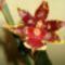 cambri orchideám ismét virágzik 2012.01.16