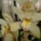 cymbidium orchideám 2011.12