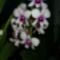 Dendrobium phalaenopsis fehér-ciklámen közepű virágszári 2012.01