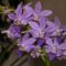 Phalaenopsis  equestris orchideám 2011.07