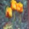 Tavi Tulipan