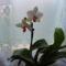Lepkeorchidea 2