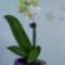 Lepkeorchidea 3