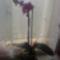 Lepkeorchidea 4