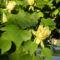 Tulipánfa virág