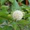 Gomb cserje virág 2011