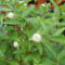 Gomb cserje virágok 2011