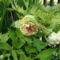 Pheonia fás szárú