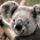 Koala_1355549_8267_t