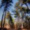 Fenyőillat - Pine Scent