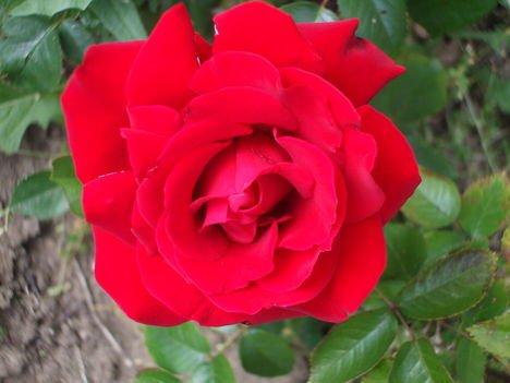 Rózsák ... 3