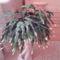 Bimbós karácsonyi kaktusz