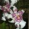 Miltassia orchidea