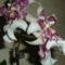 Miltassia orchidea 2012