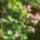 Rózsaszín Dipladenia
