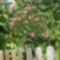 Rózsaszin leánder