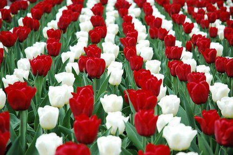 Tulipánok ...