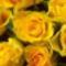 gyonyoru sarga rozsak