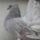 Némethé Grudl Beáta pávagalambjai