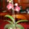 Bordó orhidea