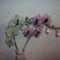 Pillangó orchideák