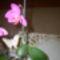 Virágzó keiki
