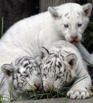 BABA feher white_lion1