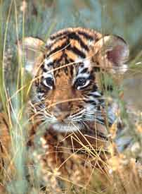 BABA med_baby-bengal-tiger