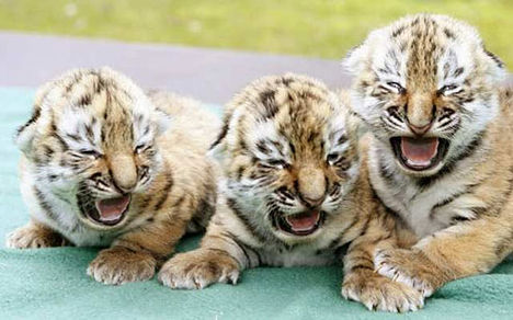 BABA pici More-Baby-tigers
