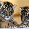 BABA tiger3