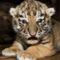 BABA tiger-infant