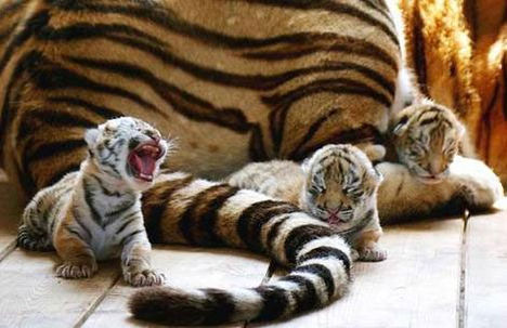 BABA tigers-tiny-babies