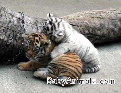 baby_tiger03