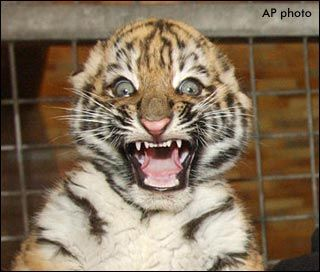 Baby_tiger_surprised_face