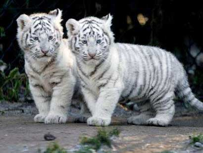 baby_tigers