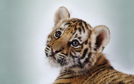 baby-tiger POSZTER