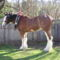 clydesdale 11