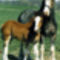 clydesdale 18