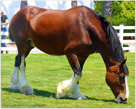 clydesdale 25