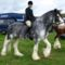 clydesdale 6