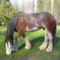 clydesdale 8