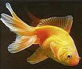 Goldfisch_1
